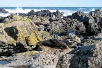 New Zealand fur seals at Sinclair Head in Wellington