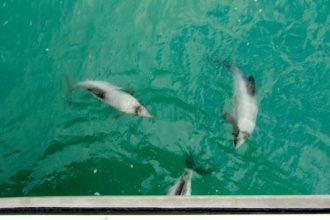 Hectors dolphins in Akaroa, New Zealand