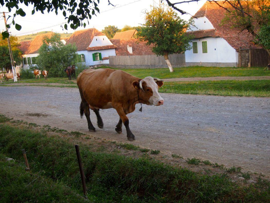 Cow in Viscri, Romania