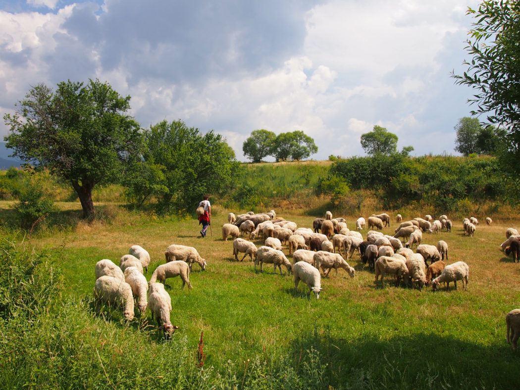 Sheep herding in Bulgaria