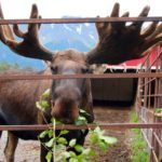 I Kissed a Moose and I Liked It – Animal Encounters in Alaska