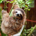 Sloths! (Fun Facts and Adorable Photos)