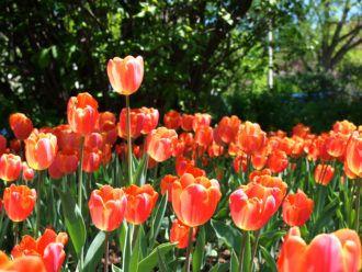 Tulip Festival in Ottawa, Canada