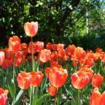In Photos: The Canadian Tulip Festival