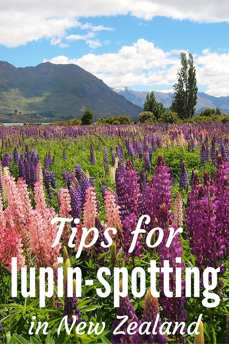 Tips for lupin-spotting in New Zealand