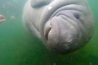 Manatee in Crystal River, Florida