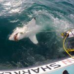 Should You Go Cage Diving With Great White Sharks?