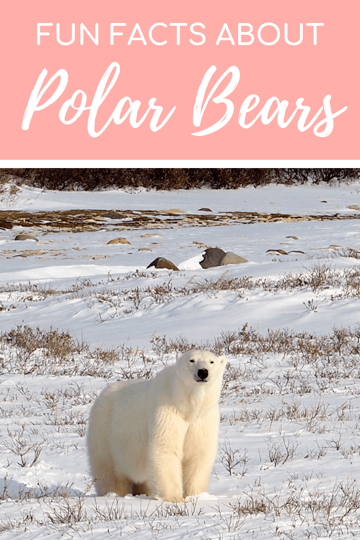 Polar bear fun facts and photos